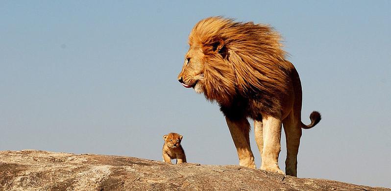 Lew z młodym