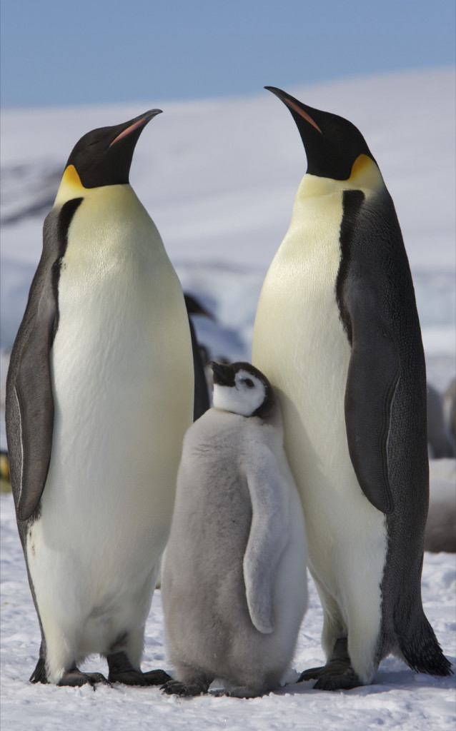 Pingwiny cesarskie z młodym