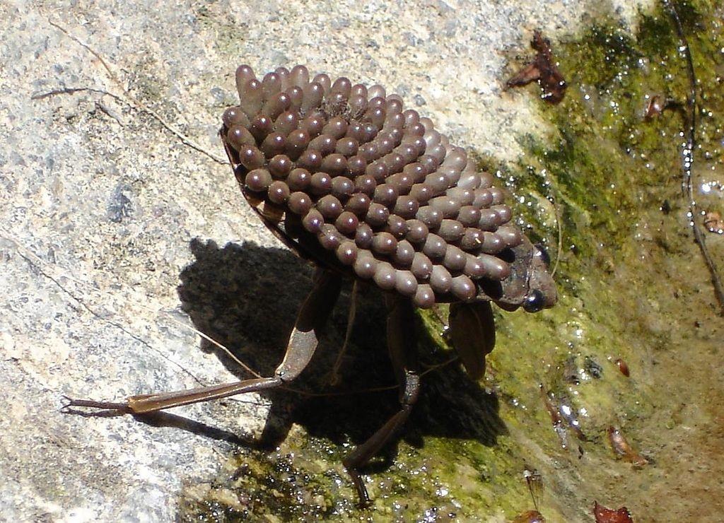 Belostomatidae - Wielka Wodna Pluskwa