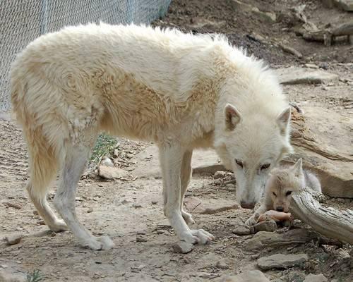 Wilk z młodym
