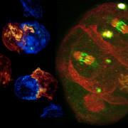 Komórki obserwowane metodą Betziga