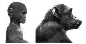 Mały i dorosły szympans